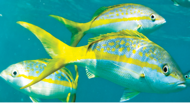 Yellowtail up fishing instructions for Yellow tail fish
